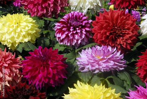 Door stickers Dahlia dahlia flower cluster