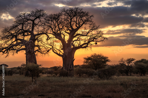 Ingelijste posters Baobab Baobab Trees at Sunset, Tanzania