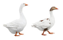 Two White Geese Isolated On Wh...