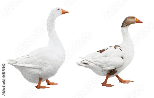 Two white geese isolated on white background