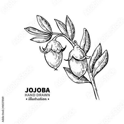 Jojoba vector drawing Canvas-taulu