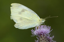 Dainty Sulphur Butterfly On Thistle Flower In Connecticut.