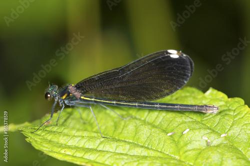 Female ebony jewelwing damselfly on a leaf in Connecticut.
