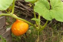 Growing A Hokaido Pumpkin In T...