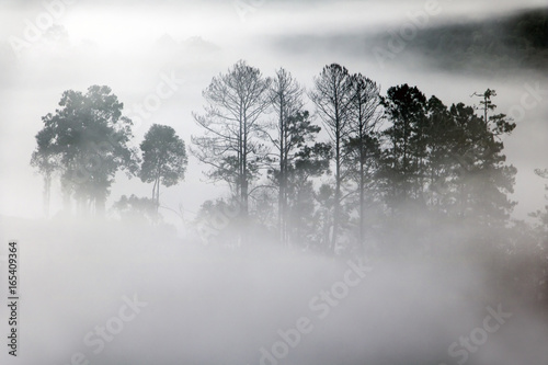 Outlines of trees in the fog creeping. Sillhouette of trees in fog in forest.