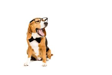 funny beagle dog yawning and wearing eyeglasses and bow tie, isolated on white