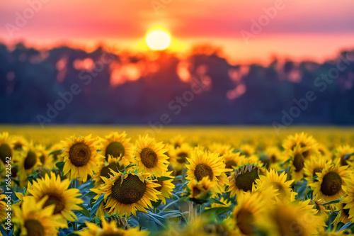 In de dag Zonnebloem Field of sunflowers during sunset