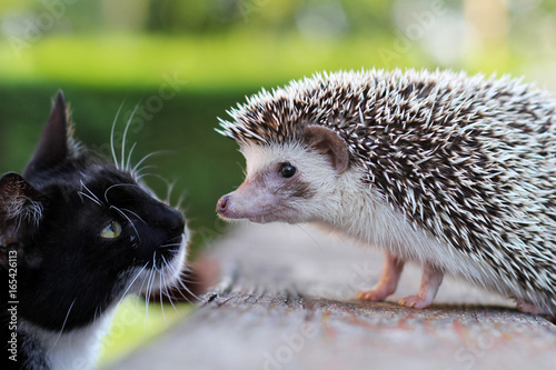 Cat and hedgehog Fototapeta