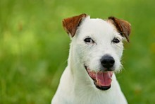 Parson Russell Terrier Smiling With His Tongue And Green Background