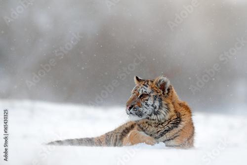 In de dag Tijger Tiger in wild winter nature. Amur tiger lying in the snow. Action wildlife scene, danger animal. Cold winter, tajga, Russia. Snowflake with beautiful Siberian tiger.