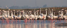Flock Of Greater Flamingos At ...