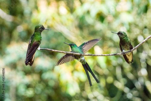 Recess Fitting South America Country Drei Kolibri im Reserva Natural Acaime nahe Salente, Zona Cafetera, Kolumbien