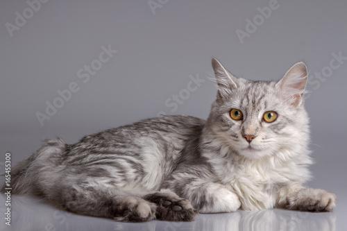Fototapeta Young tabby cat isolated on grey background obraz na płótnie