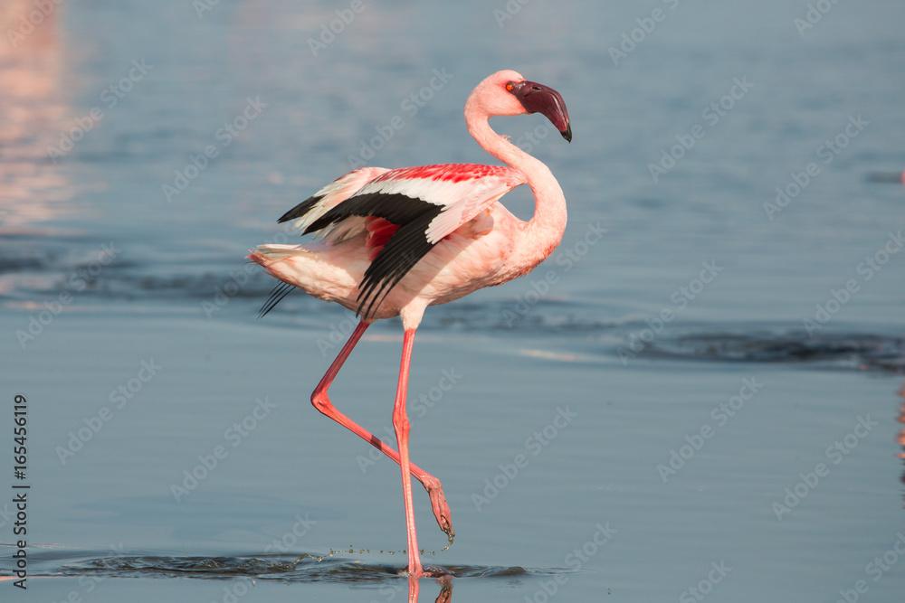 Lesser flamingo (Phoeniconaias minor), Walvis bay, Namibia