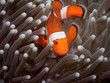 Clown anemone fish(Nemo) in anemone