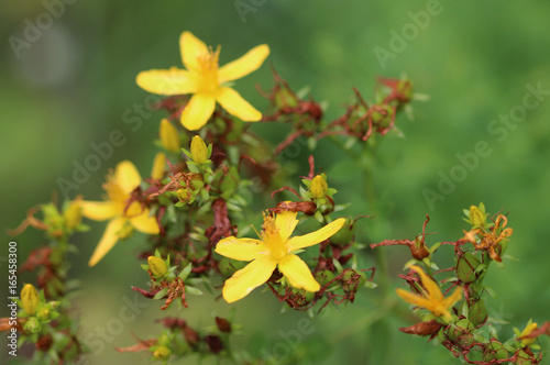 Photo Agrimonia eupatoria