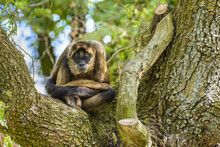 Geoffroy's Spider Monkey At Zoo