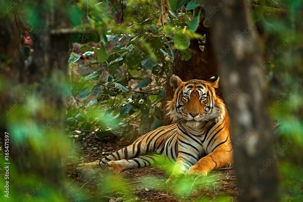 Indian tiger male with first rain, wild animal in the nature habitat, Ranthambore, India. Big cat, endangered animal. End of dry season, beginning monsoon. Tiger laying in green vegetation. Wild Asia.