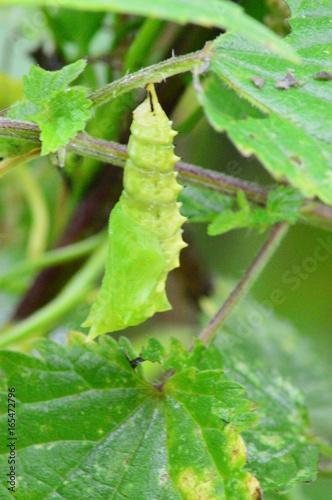 Fotografie, Obraz Poczwarka motyla rusałka