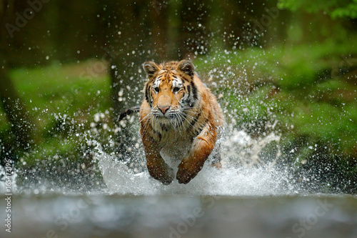 Foto op Aluminium Tijger Tiger running in the water. Danger animal, tajga in Russia. Animal in the forest stream. Grey Stone, river droplet. Tiger with splash river water. Action wildlife scene with wild cat, nature habitat.
