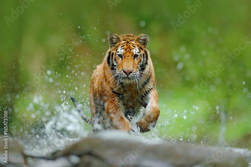tygrys-z-woda-w-rzece-plusk