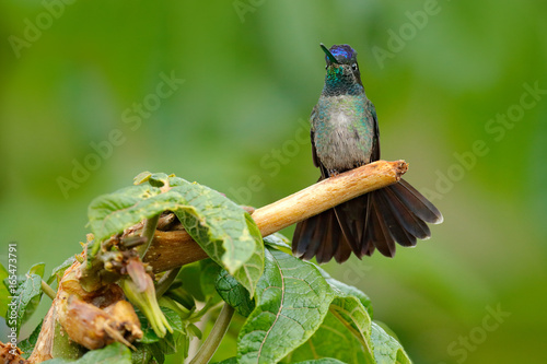 Tuinposter Kikker Magnificent Hummingbird, Eugenes fulgens, nice bird on moss branch. Wildlife scene from nature. Jungle trees with small animal. Humminbird in the nature forest habitat. Detail of shiny glossy bird.
