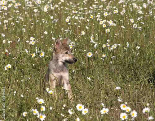 Fotografie, Obraz  Wolf Puppy Portrait in Daisy Meadow