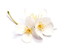 Jasmine Flower Isolated On Whi...