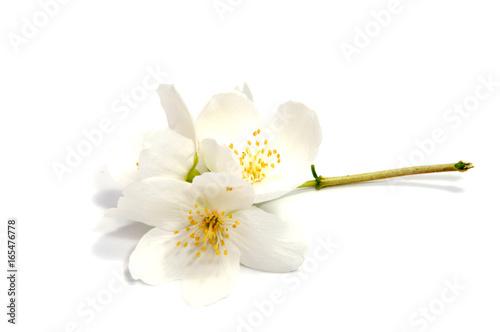 Foto op Plexiglas Magnolia Jasmine flower isolated on white background. close up