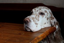 English Setter Face Starving And Laying On Kitchen Table, Begging For Food