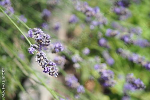Fotobehang Lavendel Brin de Lavande