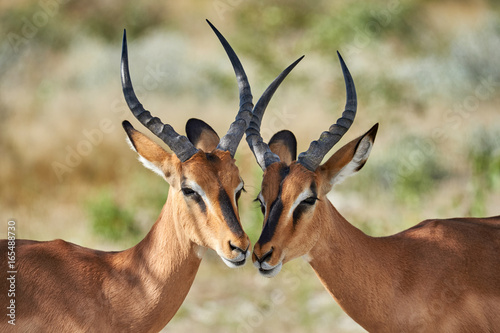 Poster Antilope Two black faced impala