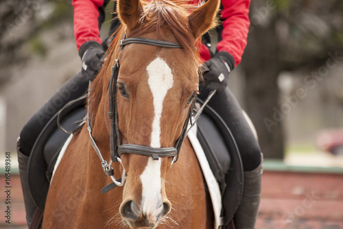Fotografie, Obraz  Close up of the head of a chestnut Thoroughbred horse with a white blaze in an English bridle and a dressage saddle with just the rider's hands visible