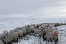 Winter Sheep Farming In The Yorkshire Dales
