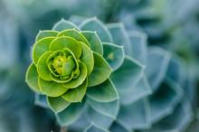 Euphorbia 1