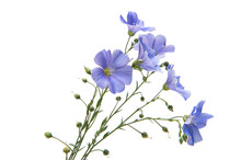 Flax Flowers Isolated