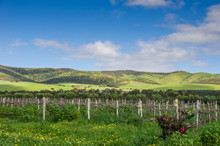 Vineyards, McLaren Vale, South...