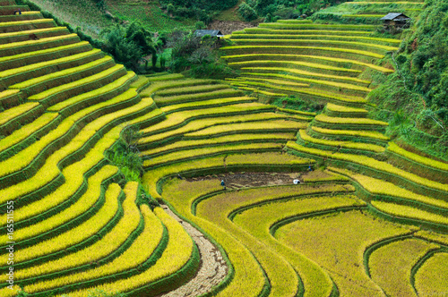 Poster Rijstvelden Rice field on terrace Mu Cang Chai Yen Bai,Vietnam