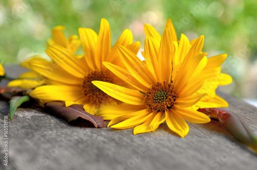Papiers peints Marguerites corolles de marguerites jaunes sur planche en bois