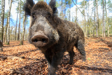 Beautiful Wild Boar (Sus Scrof...