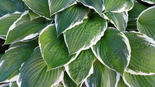 Green And White Leaves Of Hosta