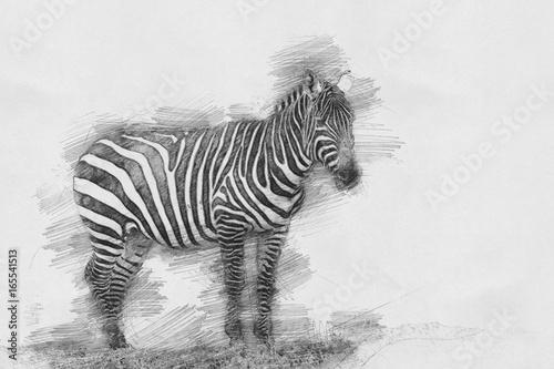 rysunek-zebry