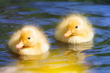 Extremely Cute Wild Ducklings (Anas Platyrhynchos) In Spring In The Netherlands