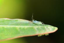 Single Small Pea Aphid (Acyrthosiphon Pisum), Or Plant Lice, On A Leaf In The Garden
