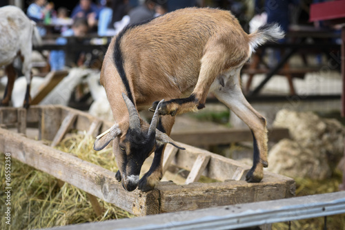 Funny goat scratching Poster