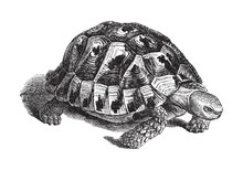 Spur-thighed Tortoise Or Greek...