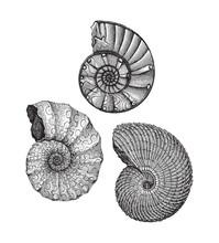 Ammonites - Fossil Shell (Tria...