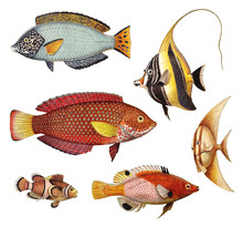 Tropical Fish Collection - Old Vintage Illustration Isolated On White Background