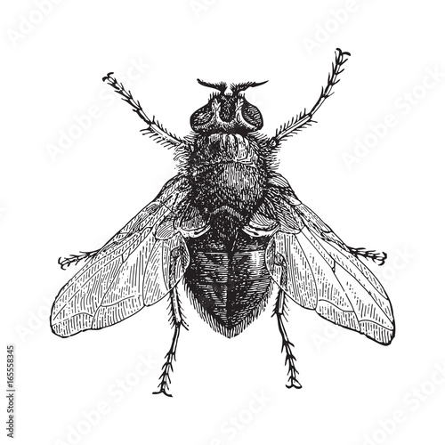 Valokuva  Blue bottle fly or bottlebee (Musca vomitoria) / vintage illustration