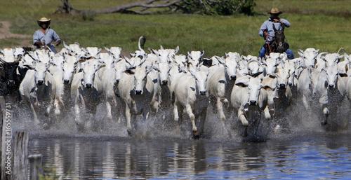 Cadres-photo bureau Vache Fazenda de gado